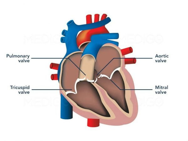 There are 4 valves in the heart which control the direction of the blood flow, both to and from the heart.