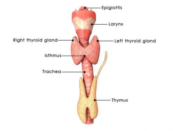 A thyroidectomy involves removing either part of, or all of the thyroid.
